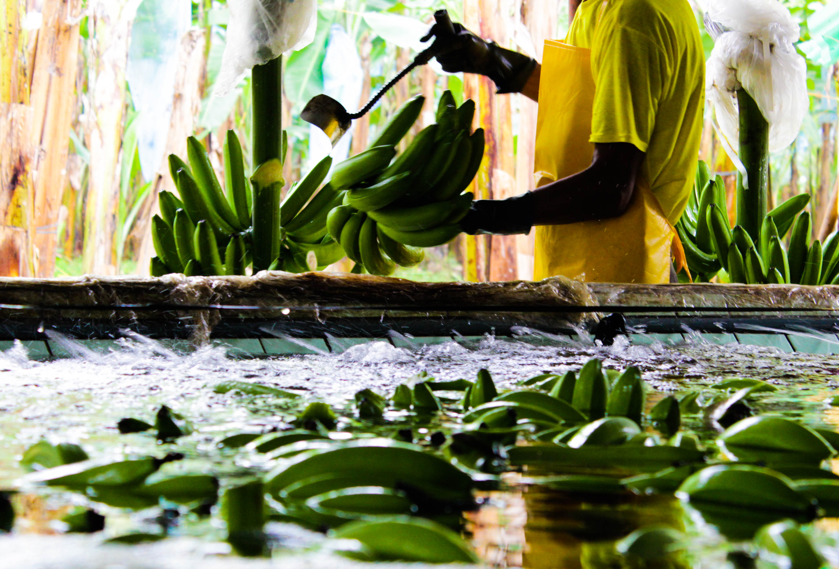 Corte de una mano de plátanos