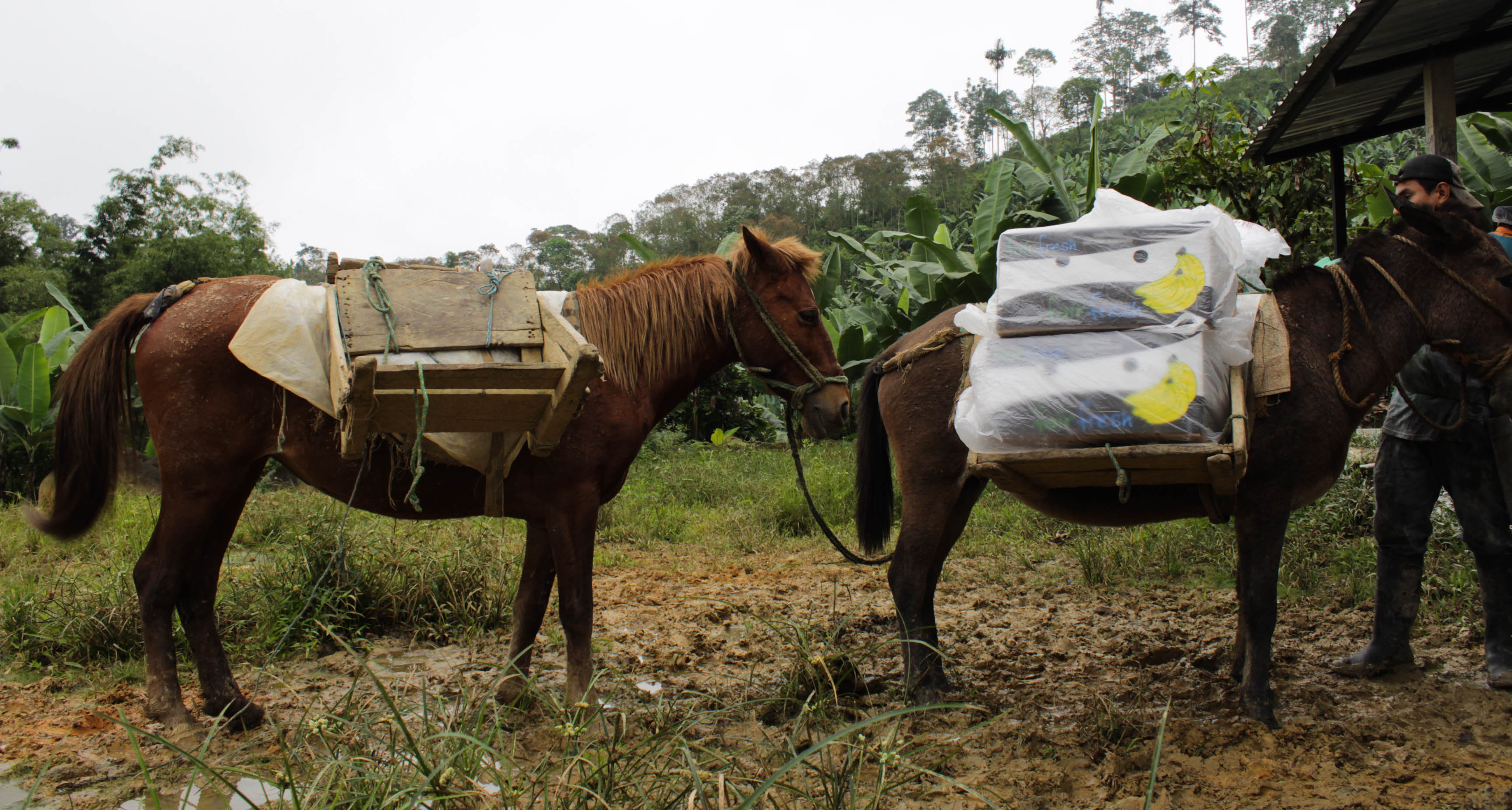 Horses carrying boxes of bananas